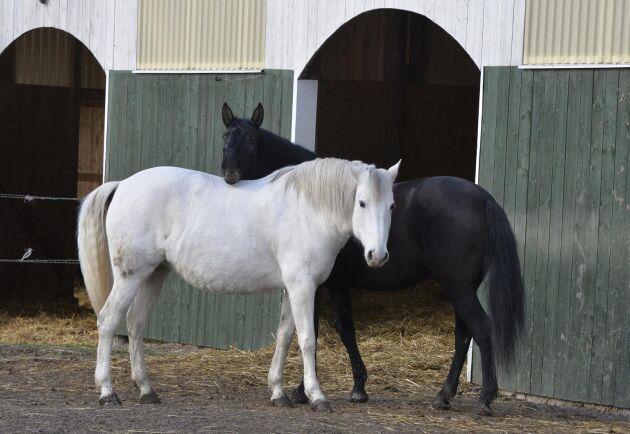 Några av gårdens hästar och kompisar i hagen. Delicada, lusitanosto, 13 år och Guiné, lusitanosto, 10 år.