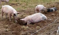 Färre grisar slaktades i mars