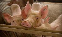Nytt utbrott av svinpest i Kina