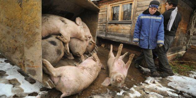 Fler länder drabbade av svinpest