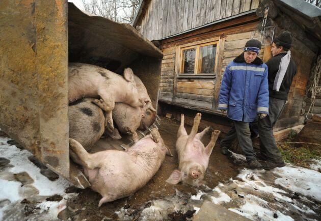 Avlivade grisar efter ett utbrott av afrikansk svinpest i Voronezj Oblast i västra Ryssland 2011.