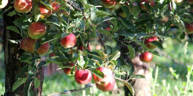 Sämsta äppelåret på väldigt länge - mindre skörd