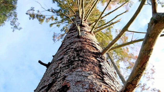 Skogsägare som underlåter att forsla ut barkborreskadade träd ur skogen riskerar vite, utfärdat av Skogsstyrelsen.