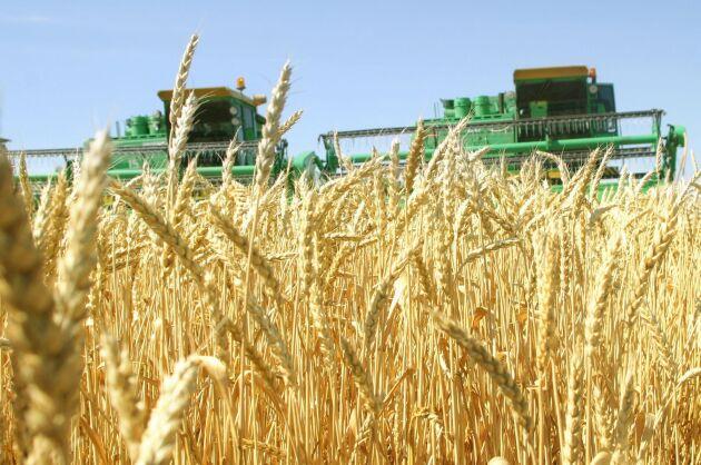 Veteskörd på ett ryskt jordbruk.