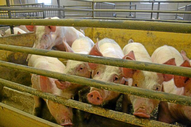 Osäkerhet om antal grisar höjer prisnivån i Europa.