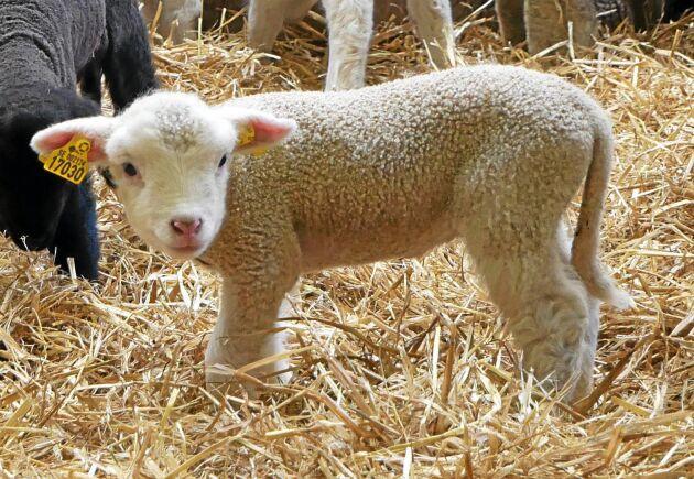 """""""Vi behöver titta på nya strategier för den svenska lammproduktionen för att lyfta prisbilden"""", konstaterar Tomas Olsson, ordförande i Sveriges Lammproducenter."""
