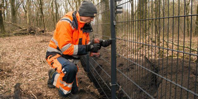 Här är stängslet som ska hålla vildsvinen borta från Danmark