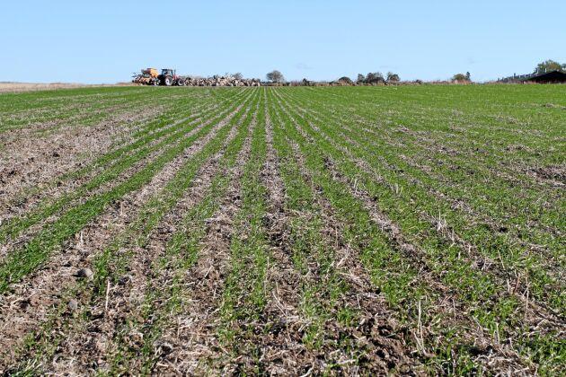 Vetet den 4 oktober sått den 10 september efter ärter. 178 kilo per hektar av höstvetesorten Reform. Billavståndet 33 centimeter ger ett avstånd på cirka 15 centimeter mellan banden.