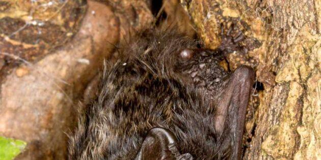 Fladdermusen – en smygjägare med tystnad som vapen