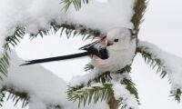 Skogsfåglar gynnas av ökad naturhänsyn