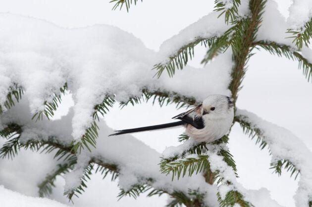 Stjärtmes är en av de fåglar som ökar i antal i Sverige, enligt studien.