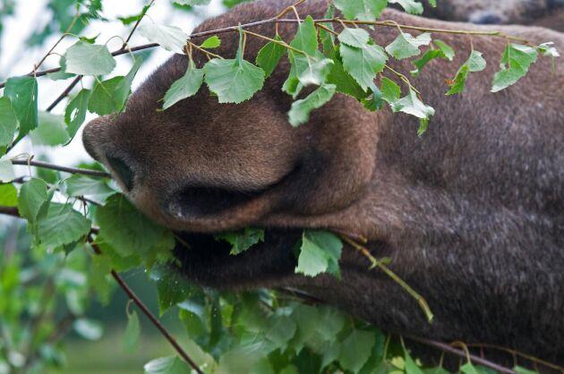 Det ska även finnas tillräckligt med de lövträd som älgen gillar enligt naturvårdsverkets nya mål för älgförvaltningen.