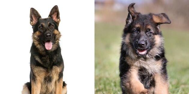 10 i topp – Sveriges mest älskade hundar