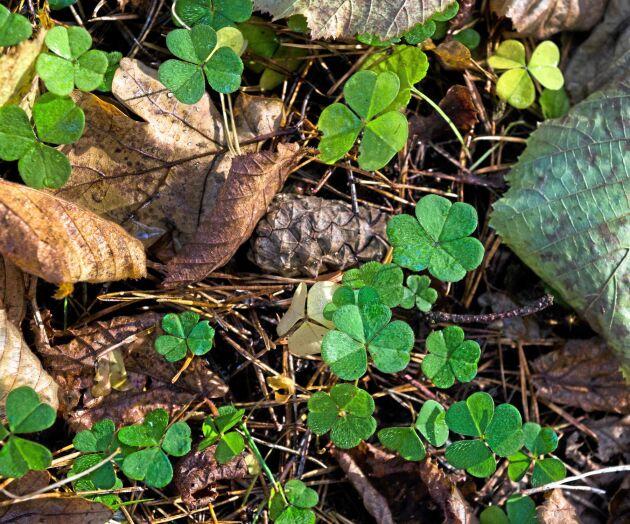 Harsyrans blad är ätbara och har en syrlig smak.