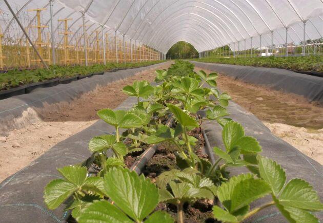 Jordgubbsodlingarna skyddas för att klara kommande övervintring.