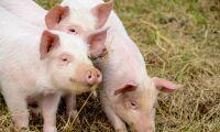 Två gripna efter olaga intrång på grisgård