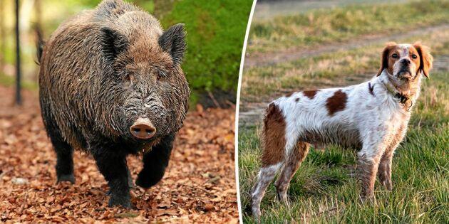 Vildsvin farligare för hundar än både björn och varg