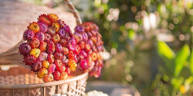 Odla vackra eterneller – perfekta att torka till fint pynt