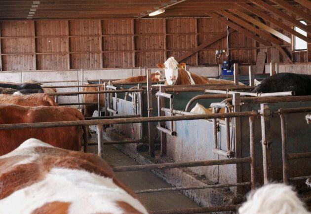 På gården bedrivs kravcertifierad köttproduktion med 77 kor (Simmental och Angus) i tre stallar.