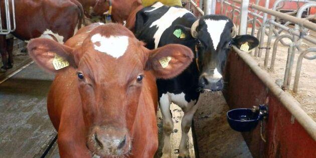 Kor visar med kroppen vad de känner