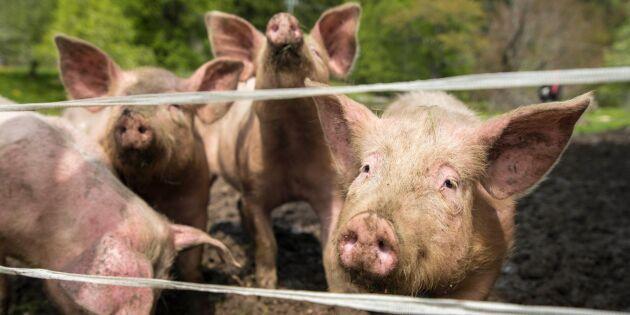 Ny utredning av åtgärder mot fruktad svinpest