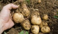 Skydda potatisen från knäpparlarverna