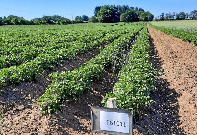 Lyckeby odlar på försök stärkelsepotatis som förädlats med hjälp av gensaxen.