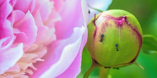 Därför är det myror på pionerna