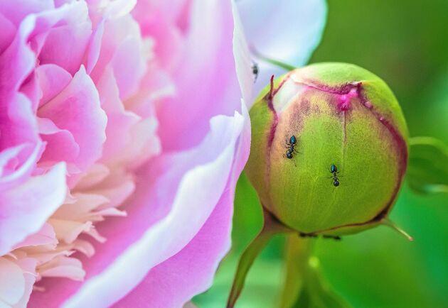 Pionknoppen är myrornas favorit.