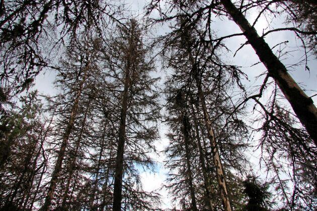 FSC Sverige har öppnat för certifierade skogsbrukare att söka dispens för att använda kemikalier mot granbarkborre. Bilden visar en barkborredödad gran i bestånd.