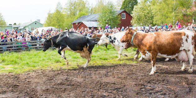 Dags för betessläpp av mjölkkor i norr