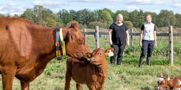 Ko hålls med kalv i mjölkproduktionen