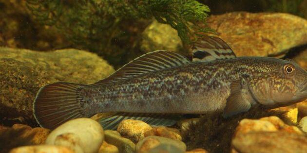 Ny fisk sprider sig snabbt i Sverige – kan hota andra arter