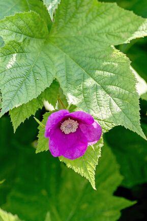 Rosenhallon kan precis som vanliga trädgårdshallon beskäras när bladen fallit.