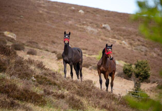 """Ettåringar. Det totalt nio blivande hopp- och dressyrhästar som i sommar går bland kullarna på Brösarps backar. Med sig har de en äldre häst som """"nanny""""."""