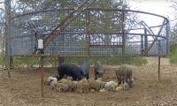 Ny vildsvinsfälla fångar hela flocken