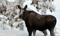 Galna älg-sjukan konstaterad i Finland