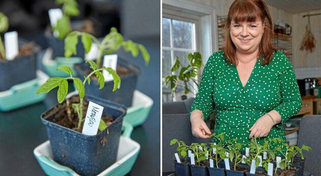 Tomater på gång, snart ska plantorna ut i växthuset näringsrika kompostmylla.