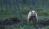 Jägareförbundet kräver utökad björnjakt