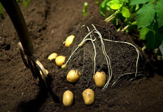 Potatis, en optimal gröda för den fruktade parasiten rotgallnematoden, som nu har upptäckts i södra Sverige.