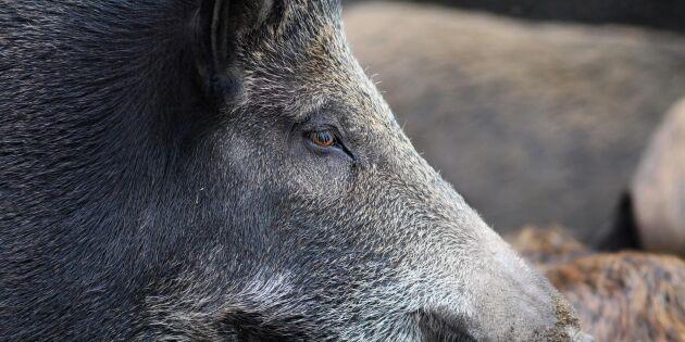 Vildsvin jagar bort lantbrukarna från deras gårdar