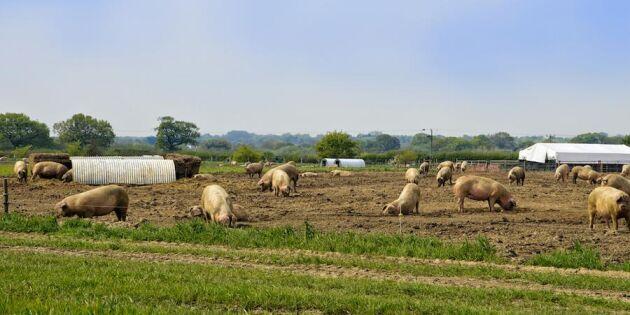 Ny trend: Allt fler grisar och kycklingar ut i det fria!