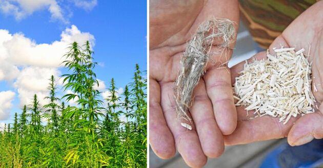 Hållbara grödan hampa har många miljösmarta användningsområden.