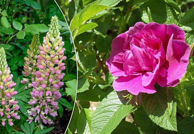 Snälla kusiner till invasiva växter. En Russel-lupin och en stillsam Hansa-ros.