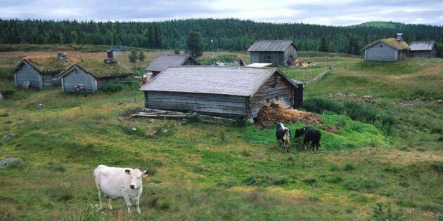 Svensk rovdjurspolitik utrotar våra fäbodar