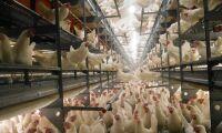 Matjättar säger nej till höns i bur