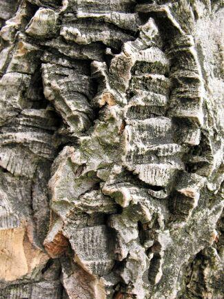 Sibiriskt korkträd är som gjort för att klappa, Fårat och vackert.