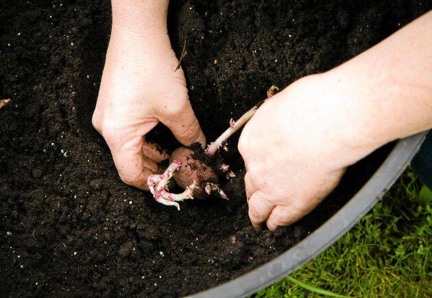 Skruttiga potatisar kan sättas i kruka och ge nya potatisar.