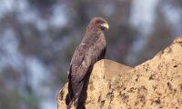Rovfåglar kan sprida bränder i jaktsyfte