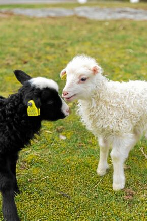 Årets lamm är födda på Hamragård i halländska Åsa. Nära hundra lamm ska skutta omkring i hagarna.